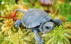 ... Trueth - Turtle on Pinterest Tortoise, Turtles and Trail of tears