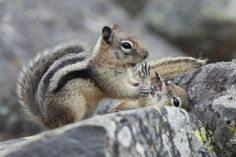 Golden-mantled Ground Squirrels - Snap out of it! By: Doug Dance