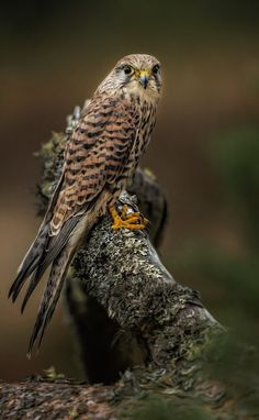 Kestrel (Sparrow Hawk) - Explore the World with Travel Nerd Nici, one Country at a Time. http://TravelNerdNici.com