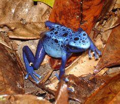 Suriname. One of our most famous animals: the blue poison frog/blue poison dart frog.  Dendrobates azureus.