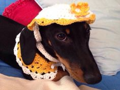 Miss Daisy the dachshund in her hat and collar from  Buttercup Crochet Designs BluebirdDesignz etsy