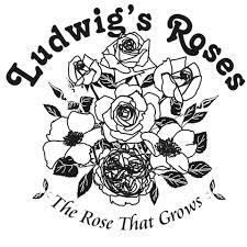 With over 800 rose cultivars, we are the premier rose nursery in SA and grow the largest selection of rose varieties available in the world. 1 Rose, Rose Bush, Buy Roses Online, Floribunda Roses, Scale Insects, Rose Nursery, Rose Care, Rose Varieties, Types Of Roses