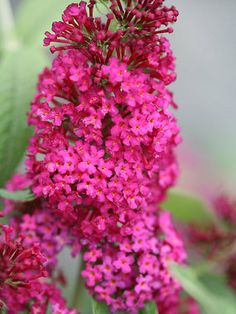 Miss Molly - Butterfly Bush - Buddleia - Garden Height: 48 - 60 Inches Spacing Maximum: 72 Inches Spread: 48 - 60 Inches Flower Colors: Pink Plant Needs Light Requirement: Sun Blooms On: New Wood Bloom Time: Summer through Fall