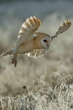 gl0vving:  Barn owl ||Pavel Svoboda