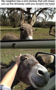 The Little Dunkey from Shrek in real life!!! hahahahaaa Donkeys are adorable. This is a miniature donkey.