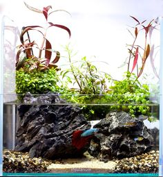 An island of just 30 cms wide that became a betta paradise