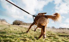 Hunde die an der Hundeleine ziehen, können nicht nur sich selbst, sondern auch die Halter durch das Gezerre verletzen. Ein Ratgeber zur Abgewöhnung.