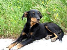 Athenian dog #2