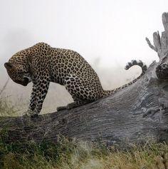Leopard, South Africa - Imgur