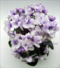 Amadie Trail (M.Clive) Miniature trailer. Semidouble lavender, deep purple eye, Tiny medium green foliage.  Миниатюрный трейлер. Полумахровые лавандовые цветы с более темным пурпурным центром, средне-зеленая стеганая листва. Photo by Irina Titova