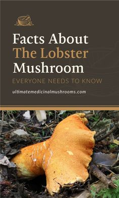 Are you craving the delicious taste of mushroom but don't want to make the same thing over and over again? Try something new and discover Lobster Mushroom, a variant that you don't get to see everyday. If you're curious here are the basic Facts About Lobster Mushroom Everyone Needs to Know. | Discover more about medicinal mushrooms at ultimatemedicinalmushrooms.com #mushroomidentification #growingmushrooms #medicinalmushroom #ediblemushrooms Edible Mushrooms, Stuffed Mushrooms, Lobster Mushroom, Mushroom Identification, Types Of Fungi, Fresh Lobster, Mushroom Hunting, Growing Mushrooms, Dehydrator Recipes