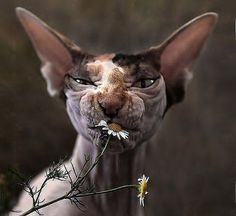 I love these Sphynx Cats! I Love Cats, Crazy Cats, Cute Cats, Funny Cats, Funny Animals, Cute Animals, Chat Bizarre, Chat Sphynx, Hairless Cats