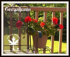 Maple Grove: Over-Wintering Geraniums