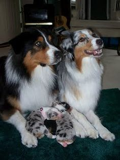 Australian Shepherds: Proud Papa and Momma