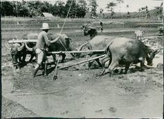 A17 1941 Water Buffalo Pulling Farm Equiptment Indies Rice Gardens Orig Photo Water Buffalo, Photo Search, Wood Carvings, Rice, Chinese, Gardens, Horses, World, Animals
