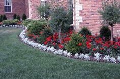 銀葉菊Dusty Miller  是以顏色取勝的植物,因為花園裡很少有銀色的植物,用以配襯很多顏色鮮豔的花朵非常適宜。經常被用來做花圃周邊成排種植,以配襯花圃中的紅色天竺葵,或是金黃的萬壽菊。  銀葉菊學名Senecio cineraria,俗名還包括Silver Dust。被稱為是半一年生,表示比一般一年生要耐寒些,但也經不起霜害。突出的銀白色,很適合做為花圃砌邊,以突顯其他花朵的鮮豔。下圖為銀葉菊做花圃周邊植物,以襯托花圃內鮮紅的天竺葵更鮮豔。