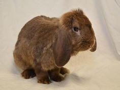 Nibbles Lop Eared & Lop Eared • Adult • Male • Medium Humane Society of Greater Dayton Dayton, OH