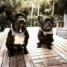 """Our gorgeous friends Nellie and Albie looking very sharp in their """"Louis"""" bowtie  (sold out)  @nikki_toole thanks for sharing Nikki! We love seeing your babies in their bowties!  We have similar in """"Winston"""" and """"Mr Darcy"""" check out our Etsy store! Link in Bio x by tongue_incheek"""