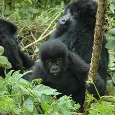 Gorilas de Montaña (Baby)