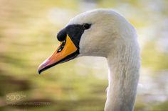 Mute Swan (David Abbs / London / United Kingdom) #ILCE-7M2 #animals #photo #nature