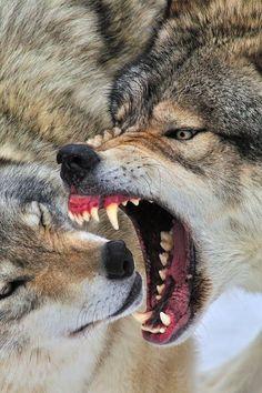 El líder de la manada es el macho alfa y su pareja es la hembra beta. Muchos creen que el orden social de un grupo se determina mediante el miedo y la dominación, sin embargo, no es necesariamente establecida por una pelea en donde el ganador es el líder. Individualmente el ranking más bajo en una manada es el lobo omega.