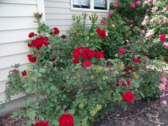 Hope for Humanity rose Red Roses, Nursery, Flowers, Plants, Gardening, Adventure, Baby Room, Lawn And Garden, Child Room