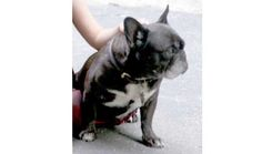 Lost Dog - French Bulldog in Waccabuc, NYShort URL:  Pet Name: Beasley  Date Lost:July 25, 2015 Breed:French Bulldog Gender:Female Age:13 1/2 Color:Black With White Che Last Seen:78 POST OFFICE ROAD WACCABUC, NY 10597 Description:Beasley is a black french bulldog with white markings on her chest and some grey/white hair on face from aging