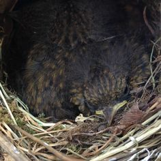 Baby robins in nest in the greenhouse