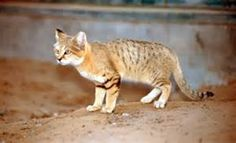 Sand Cat Population - Bing images Felis Margarita, Sand Cat, Kangaroo, Bing Images, Cats, Animals, Baby Bjorn, Gatos, Animales