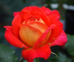 Midsummer - SechzehnEichen RosenSchätze