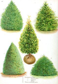 /\ /\ . Botanical Tree Types IV: http://books.google.com/books?id=5A1Y_YFaqjYC&pg=PA132&lpg=PA132&dq=retinospora+pisifera&source=bl&ots=jIJx9CR0oG&sig=ADxVn7uIM4_MDtw-PRUFmUgvA4g&hl=en&sa=X&ei=cI20UumuEMPwoASf9YCwBg&ved=0CFMQ6AEwDQ#v=onepage&q=retinospora%20pisifera&f=false