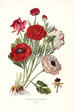Edward Step Favourite Flowers Botanical Prints 1896 - Ranunculus Asiaticus STP6 $35