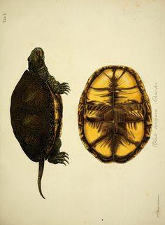 1792 - D. Johann David Schöpfs königl. Preuss. hofraths ... Naturgeschichte der Schildkröten : - Biodiversity Heritage Library