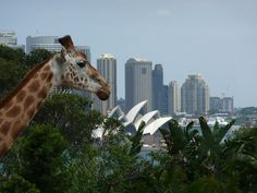 The giraffes with the best view in the world!