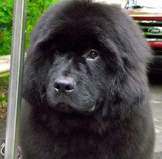 Newfoundland Dog  Newfie