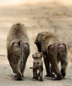 Baboon Family (Ian Yule)