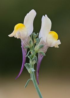 Linaria polygalifolia, you can see why it's sometimes called a fried egg plant