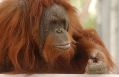 Knobi, a 33-year-old orangutan, is social, active and the most dominant female, according to the Indianapolis Zoo. She weighs about 125 pounds. Except for a brief period in 1984 and 1985, when she lived at the Denver Zoo, Knobi has lived most of her life at the Henry Doorly Zoo.  Knobi likes to clean and frequently collects trash and debris in a container. She will then fill a container with water, and wet a rag that she uses to wipe and scrub any dirty surfaces.