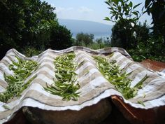 my verbene tea production in italy