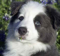 Just gorgeous! I want one! Blue & White Border Collie.