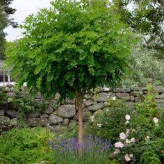 Robinier / Acacia boule, pot de 15 litres demi-tige