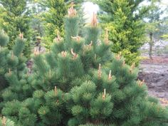 PI6-thunderhead pine - Google Search