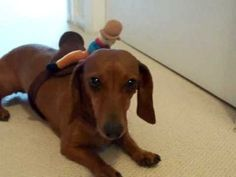 Cute Fast Running Barrel Racing Wiener Dog Dachshund.mov