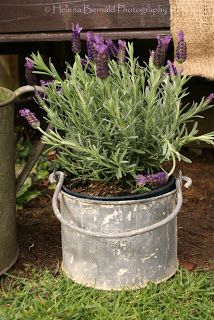 Old bucket planted with lavender.  Good choice for gardens with clay soil.  Lavender likes a sandy soil, so you can customize the soil in the bucket easily.