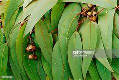 Resultado de imagen de eucalyptus leaves