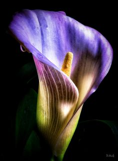"Calla Lily.   (""Lily Colors."")"