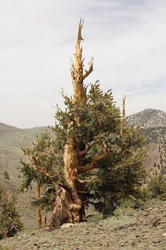 Bristlecone Pine Tree - Oldest Living Organism in the world.
