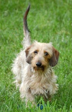 dachshund dog | Sadie the Wirehaired Dachshund | Dogs | Daily Puppy