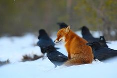 Red fox sits among Ravens.