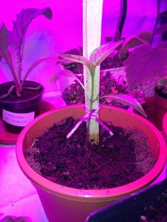 11.4. Paprika Plants, Red Peppers, Flora, Plant, Planting